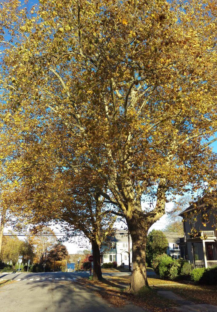 Trees on Plant Street