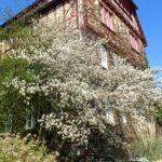 Downy Serviceberry (Amelanchier arborea) spring habit