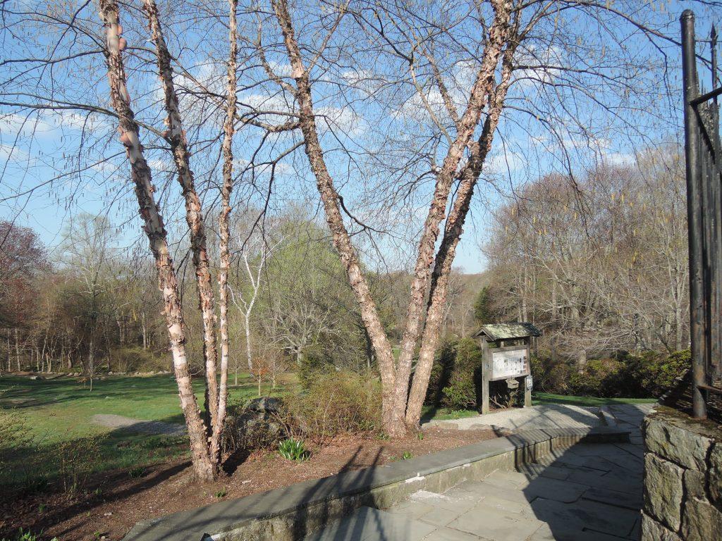 River Birch (Betula nigra) winter habit