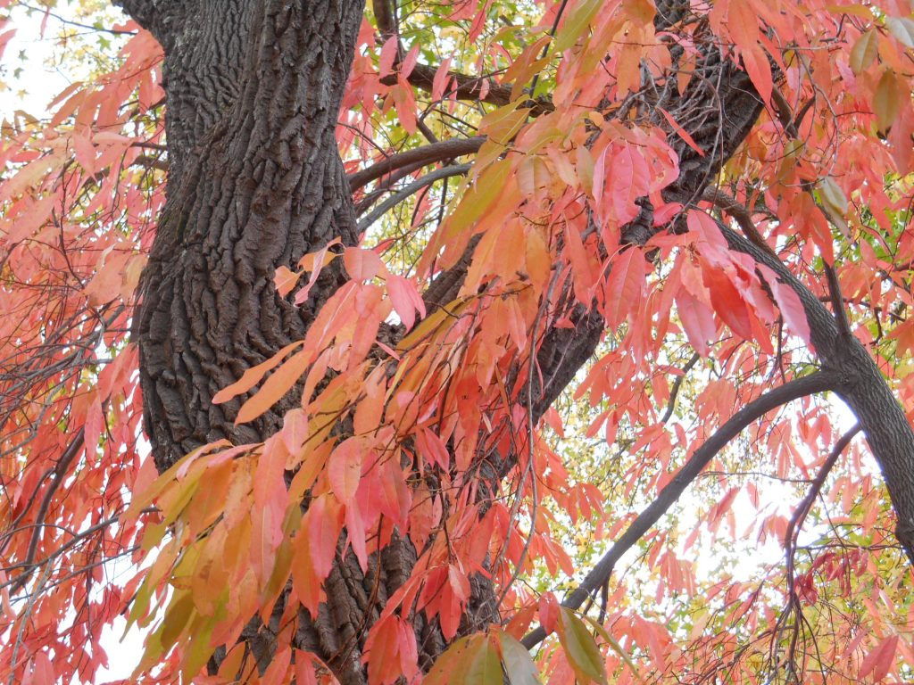 Sourwood (Oxydendrum arboreum) fall leaves and bark