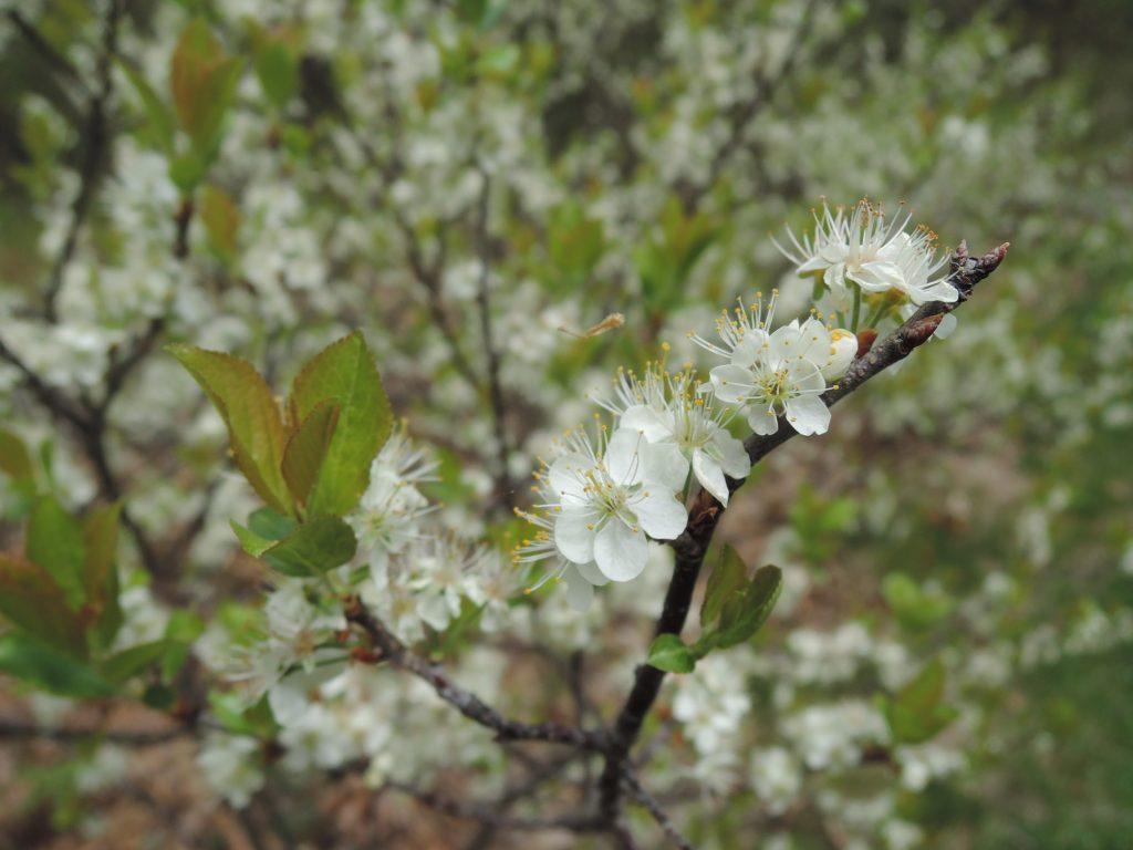 Prunus maritima flowers