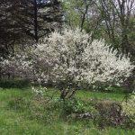 Prunus maritima spring habit