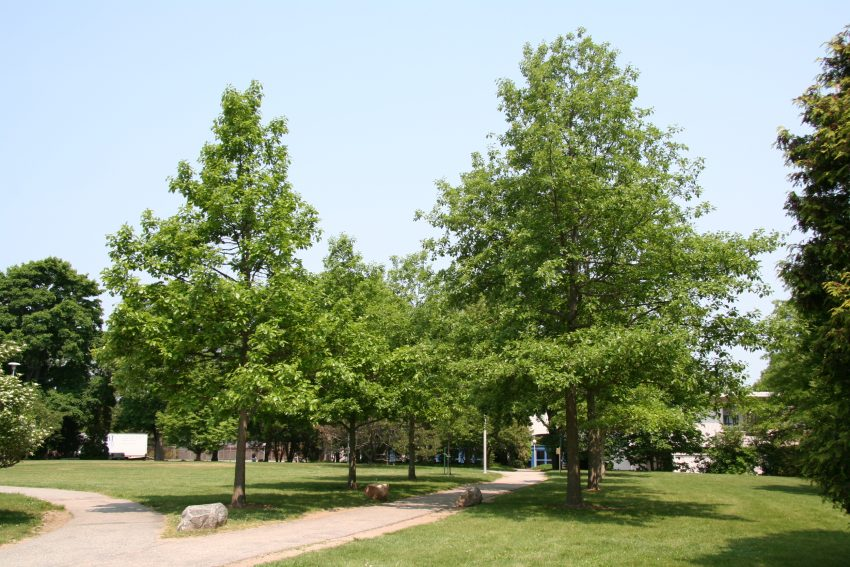 Swamp White Oak (Quercus bicolor) summer habit