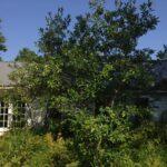 Sweet Bay Magnolia habit (Magnolia virginiana)