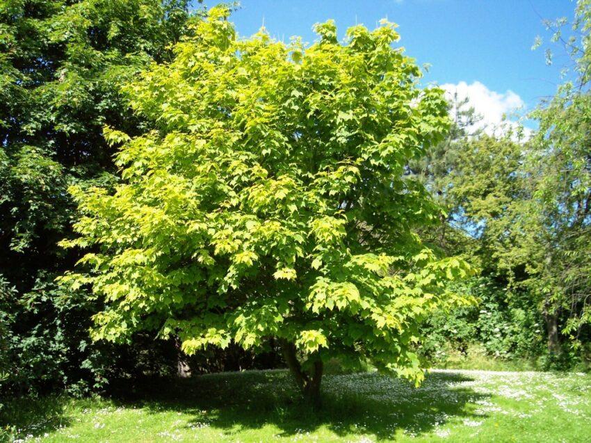 Striped Maple habit (Acer Pensylvanicum)
