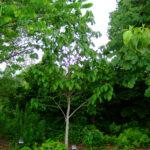 Pawpaw (Asimina triloba) summer habit