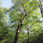 Yellow Birch (Betula alleghaniensis) summer habit