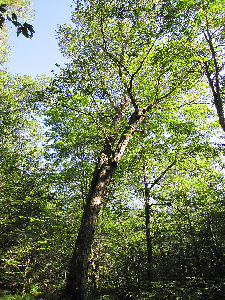 Yellow Birch (Betula alleghaniensis) summer habit