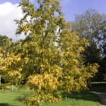 Sweet or black birch (Betula lenta) fall habit