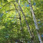 Paper Birch (Betula papyrifera) summer habit