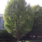 Musclewood (Carpinus caroliniana) summer habit
