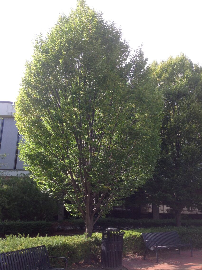 Musclewood (Carpinus caroliniana) summer habit