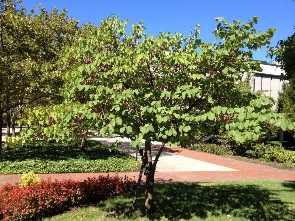 Eastern redbud (Cercis canadensis) summer habit