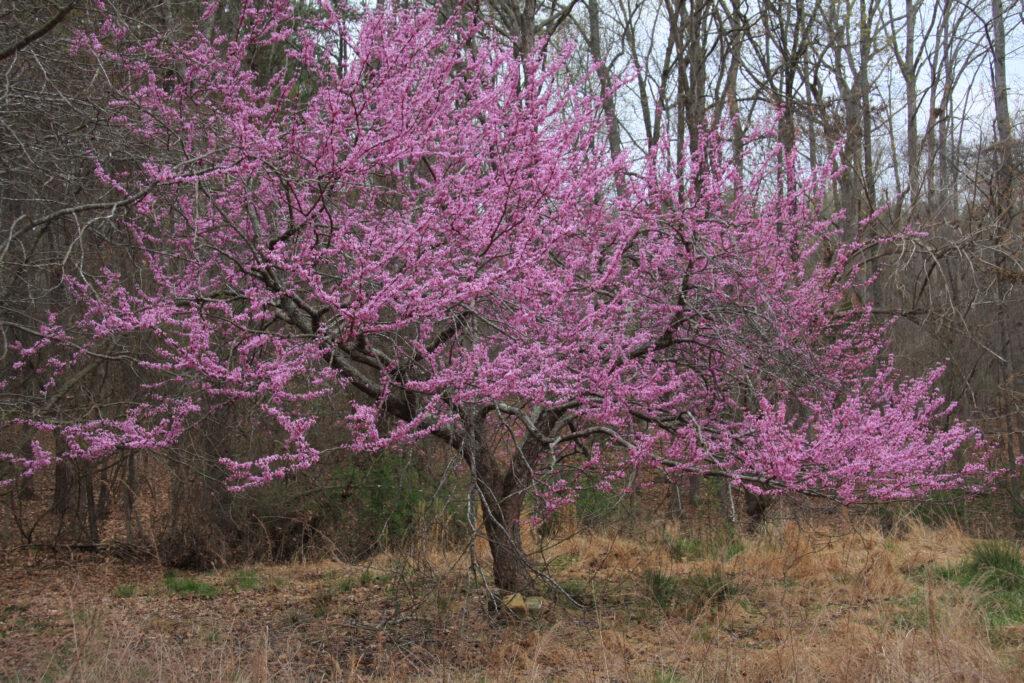Eastern redbud (Cercis canadensis) spring habit