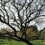 Yellowwood (Cladrastis kentukea) winter habit