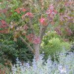 American smoketree (Cotinus obovatus) fall habit