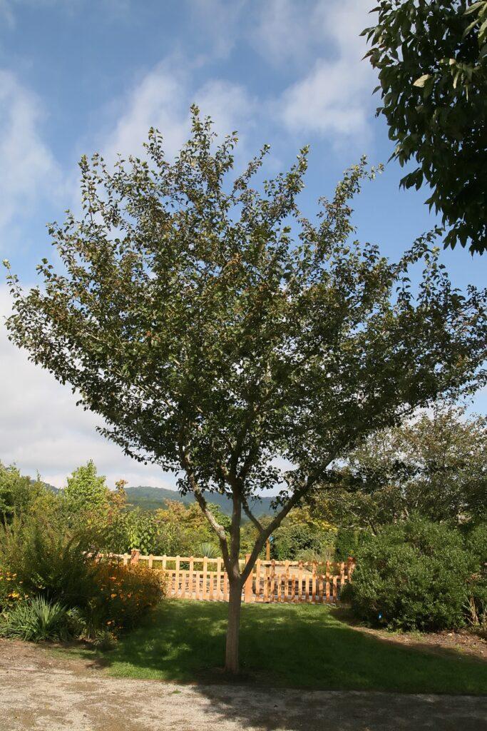 Green Hawthorn (Crataegus viridis) summer habit