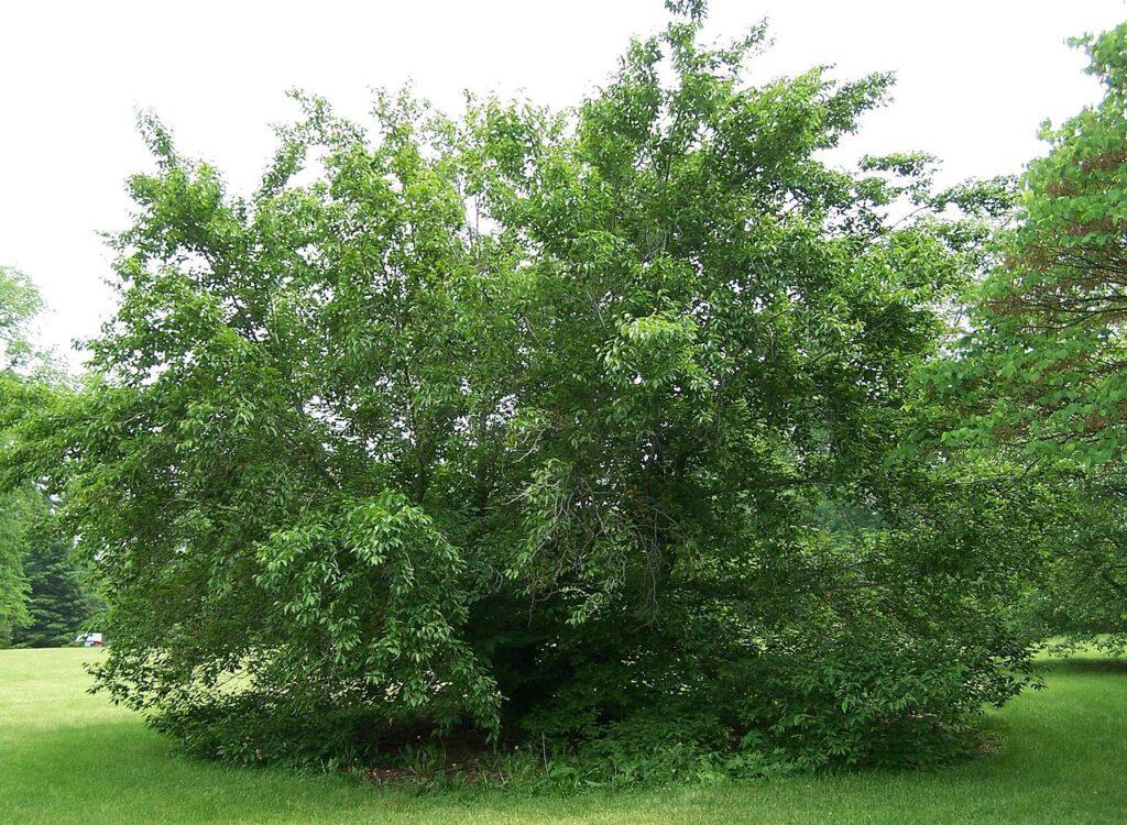 American Beech (Fagus grandifolia) summer habit