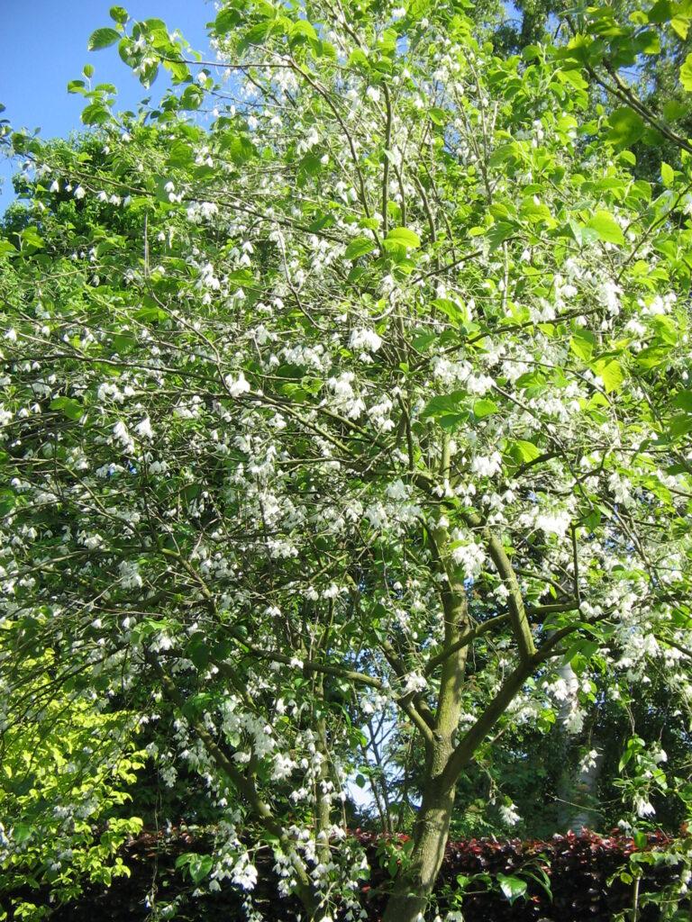 Carolina Silverbell (Halesia carolina) spring habit