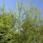 Witchhazel (Hamamelis virginiana) summer habit