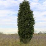 Eastern Red Cedar (Juniperus virginiana) summer habit