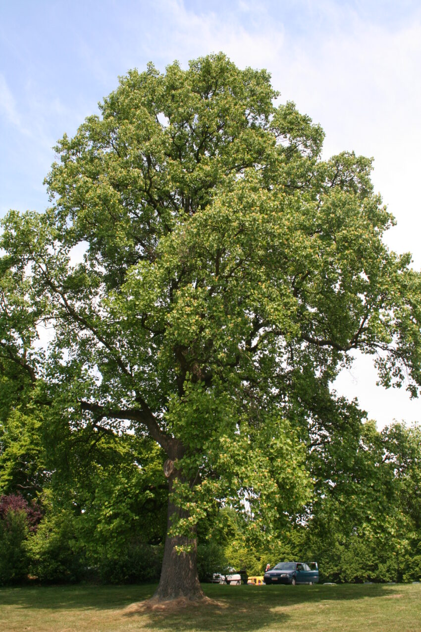Tulip Tree (Liriodendron tulipifera) summer habit
