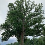 Cucumber Magnolia (Magnolia acuminata) summer habit