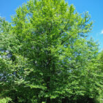 Black Tupelo (Nyssa sylvatica) summer habit