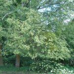 Eastern Hophornbeam (Ostrya virginiana) summer habit
