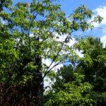Sourwood (Oxydendrum arborea) summer habit