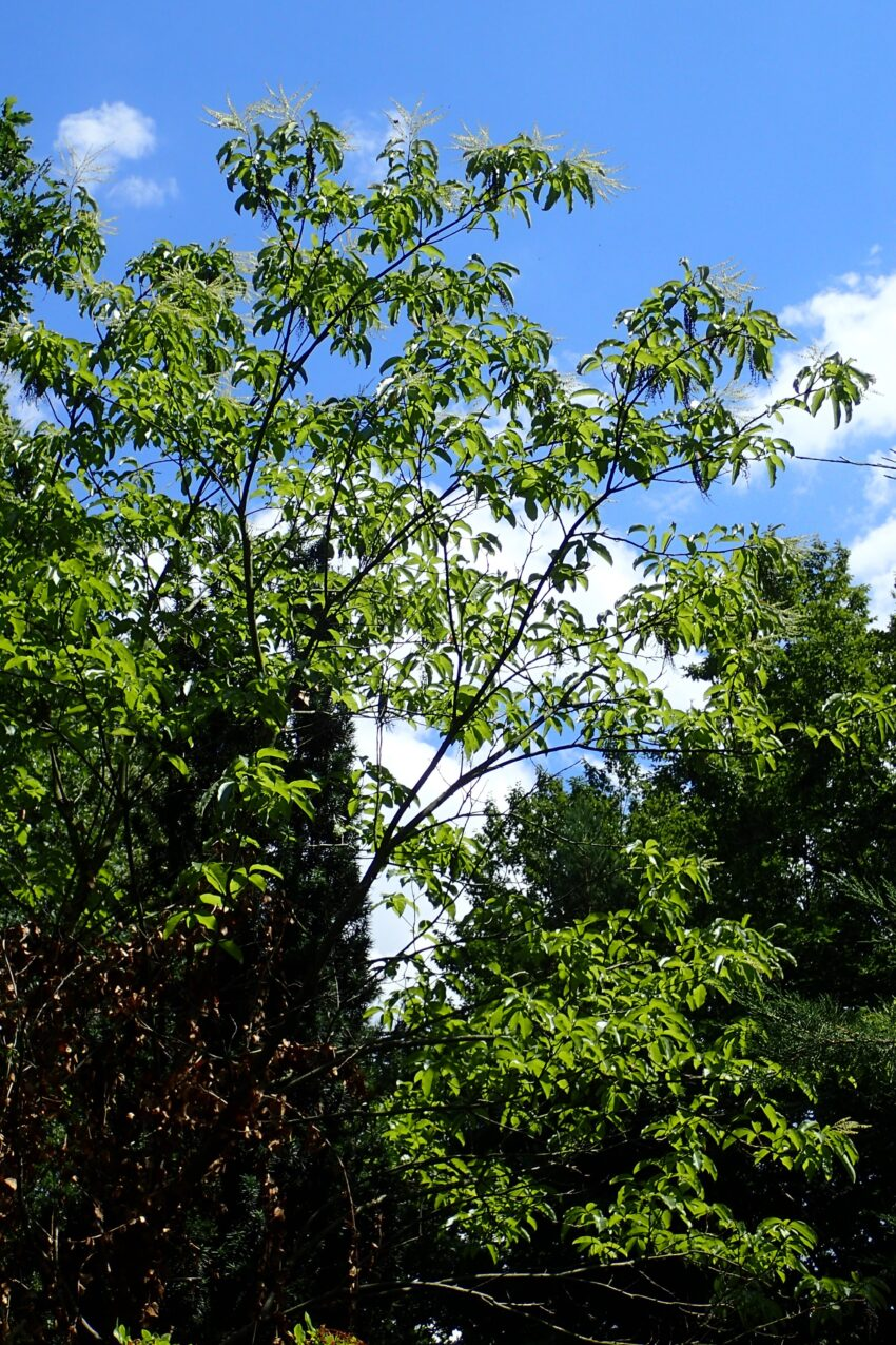 Sourwood (Oxydendrum arborea) summer habit