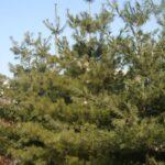 White Pine (Pinus strobus) summer habit
