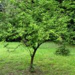 American Red Plum (Prunus americana) summer habit