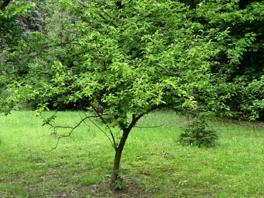 American Red Plum (Prunus americana) summer habit