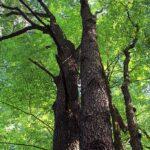 Black Cherry (Prunus serotina) summer habit