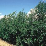 American Red Plum (Prunus virginiana) summer habit