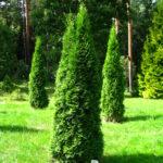 Eastern Arbovitae (Thuja occidentalis) summer habit
