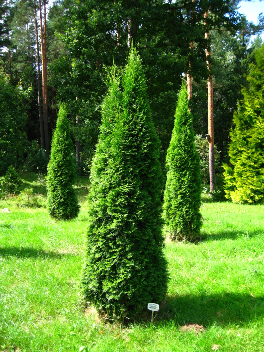 Eastern Arbovitae (Thuja occidentalis) summer habit