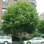 Linden (Tilia america) summer habit