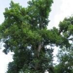 Elm (Ulmus americana) summer habit