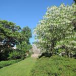 Fringetree (Chionanthus virginicus) summer habit